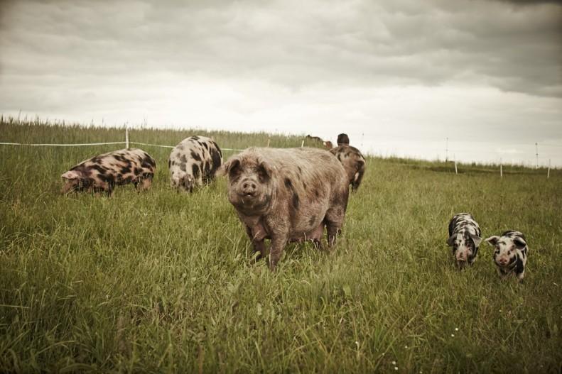 Turopolje-Schwein-FO8R9780