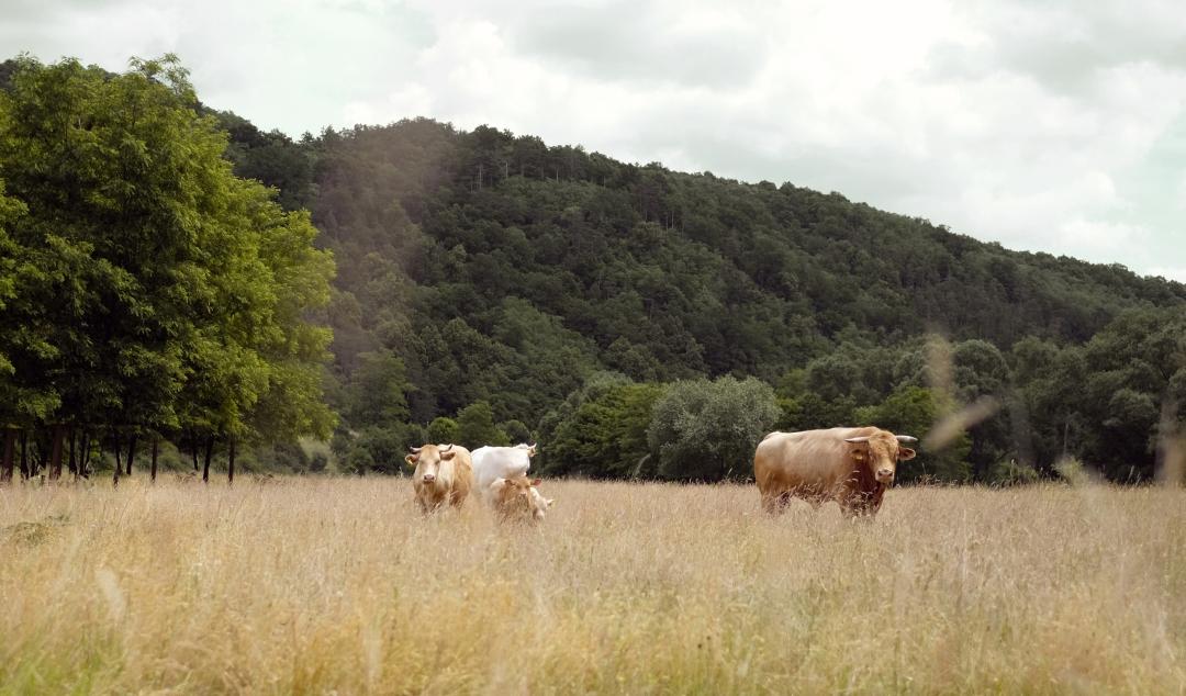 Waldviertler Blondvieh im Kamptal