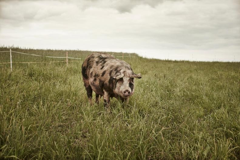 Turopolje Schwein_© Le Foodink