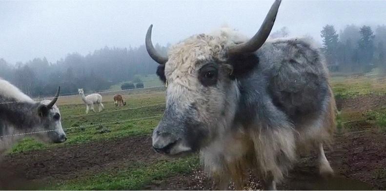 bio-yaks-pollak